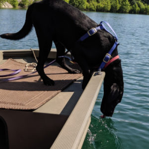 black lab leaning over boat licking water